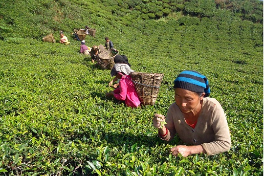 Workers collecting leaves of tea in a tea garden of Ilam district. Nepal is popular for tea.