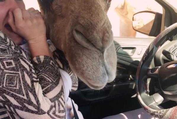 Camel-steals-food-bag-while-ostrich-pecks-at-SUV