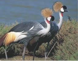 Saras Bird