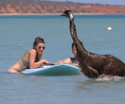 Emu-surprises-beach-goers-by-joining-them-for-a-swim