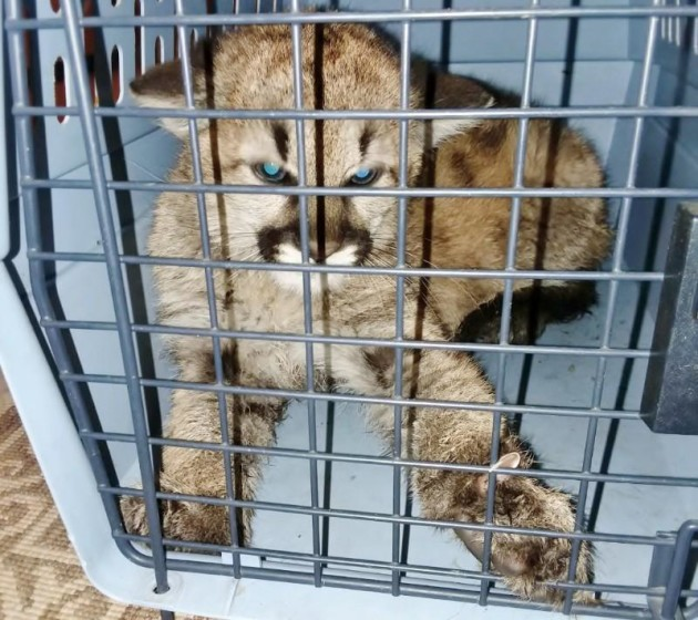 Mountain-lion-cub-seized-from-Colorado-home